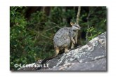 Allied Rock Wallaby LLE-468 © Lochman Transparencies