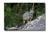 Allied Rock Wallaby LLE-468 © Lochman Transparencies