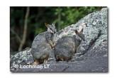 Allied Rock Wallaby LLE-470 © Lochman Transparencies