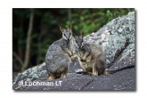 Allied Rock Wallaby LLE-471 © Lochman Transparencies