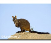Brush-tailed Rock Wallaby LLD-540 © Lochman Transparencies