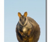 Brush-tailed Rock Wallaby LLD-545 © Lochman Transparencies copy