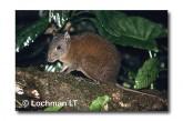 Musky Rat-Kangaroo QEY-004 ©Belinda Wright- Lochman LT