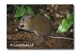 Musky Rat-Kangaroo QEY-005 ©Belinda Wright- Lochman LT