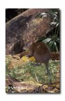 Musky Rat-Kangaroo WLY-271 ©Dave Watts- Lochman LT