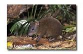 Musky Rat-Kangaroo WLY-273 ©Dave Watts- Lochman LT