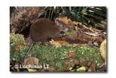 Musky Rat-Kangaroo WLY-274 ©Dave Watts- Lochman LT