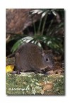 Musky Rat-Kangaroo WLY-498 ©Dave Watts- Lochman LT
