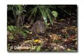 Musky Rat-Kangaroo WLY-895 ©Dave Watts- Lochman LT