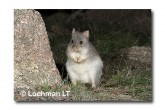 Rufous Bettong LLD-131 © Lochman Transparencies copy