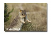 Rufous Bettong LLD-133 © Lochman Transparencies copy