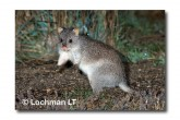 Rufous Bettong LLD-140 © Lochman Transparencies