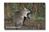 Rufous Bettong LLD-141 © Lochman Transparencies copy
