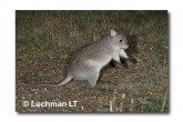Rufous Bettong LLD-142 © Lochman Transparencies copy