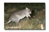 Rufous Bettong LLD-143 © Lochman Transparencies copy