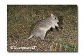Rufous Bettong LLD-144 © Lochman Transparencies copy