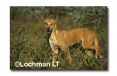 Dingo LCY-791 ©Jiri Lochman- Lochman LT