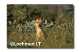 Dingo LEY-532 ©Jiri Lochman- Lochman LT