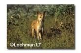 Dingo LEY-533 ©Jiri Lochman- Lochman LT