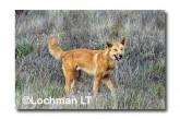 Dingo LLK-896 ©Jiri Lochman - Lochman LT