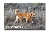 Dingo LLK-897 ©Jiri Lochman - Lochman LT