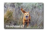 Dingo LLK-898 ©Jiri Lochman - Lochman LT copy
