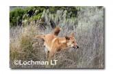 Dingo LLM-014 ©Jiri Lochman-  Lochman LT