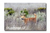 Dingo LLM-015 ©Jiri Lochman-  Lochman LT