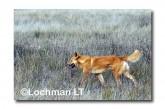 Dingo LLM-016 ©Jiri Lochman-  Lochman LT