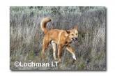 Dingo LLM-018 ©Jiri Lochman-  Lochman LT