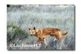 Dingo LLM-019  ©Jiri Lochman-  Lochman LT