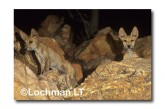 Dingo - pups ZA-501 ©Jiri Lochman- Lochman LT