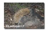 Short-beaked Echidna LLN-270 ©Jiri Lochman- Lochman LT.