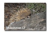 Short-beaked Echidna LLN-271 ©Jiri Lochman- Lochman LT.