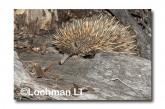 Short-beaked Echidna LLN-272 ©Jiri Lochman- Lochman LT.