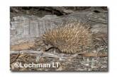 Short-beaked Echidna LLN-273 ©Jiri Lochman- Lochman LT.