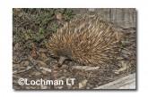 Short-beaked Echidna LLN-274 ©Jiri Lochman- Lochman LT.