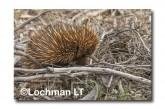 Short-beaked Echidna LLN-283 ©Jiri Lochman- Lochman LT.