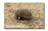 Short-beaked Echidna - digging LLN-268 ©Jiri Lochman- Lochman LT.
