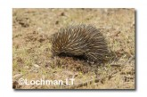 Short-beaked Echidna - digging LLN-269 ©Jiri Lochman- Lochman LT.