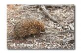Short-beaked Echidna - walking LLN-284 ©Jiri Lochman- Lochman LT.
