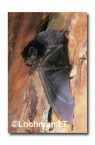 Chalinolobus gouldii Gould's Wattled Bat  LFY-582 ©Jiri Lochman- Lochman LT