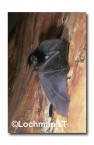 Chalinolobus gouldii Gould's Wattled Bat  LFY-590 ©Jiri Lochman- Lochman LT