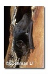 Chalinolobus gouldii Gould's Wattled Bat  LFY-594 ©Jiri Lochman- Lochman LT