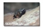 Chalinolobus nigrogriseus ZZY-180 ©Jiri Lochman- Lochman LT