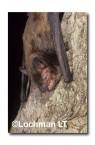 Falsistrellus mackenziei Western False Pipistrelle RBY-958 ©Jiri Lochman- Lochman LT