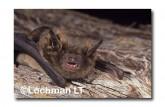 Falsistrellus mackenziei Western False Pipistrelle RBY-960 ©Jiri Lochman- Lochman LT