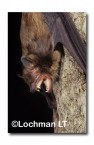 Falsistrellus mackenziei Western False Pipistrelle RBY-965 ©Jiri Lochman- Lochman LT