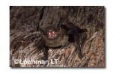Falsistrellus mackenziei Western False Pipistrelle XTY-022 ©Jiri Lochman- Lochman LT