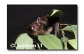 Falsistrellus mackenziei Western False Pipistrelle XTY-023 ©Jiri Lochman- Lochman LT